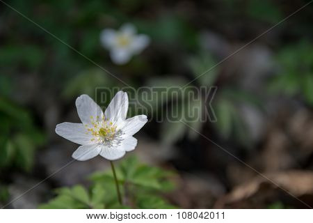 Wood Anemone In The Undergrowth