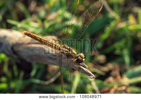 Neon Brown Dragonfly