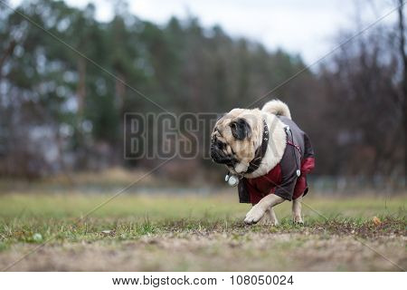 Pug Walking In Autumn Park.