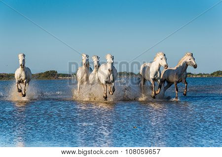 White horses of Camargue running through water