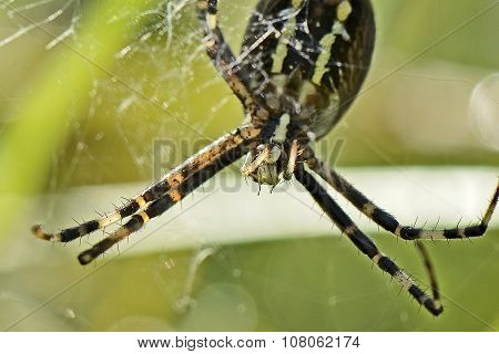 Predator Spider On Spiderweb With A Maggot In Mouth