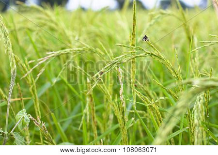 Rice Field Focus On Ear Of Paddy With Small Bug.