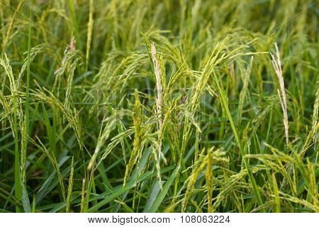 White Ear Of Paddy In The Rice Field