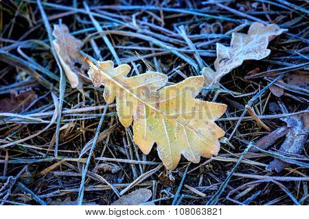 Abstract frozen oak leaf on grass