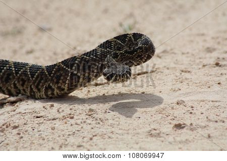 western diamond-back rattlesnake