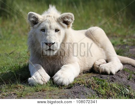 white lion, South Africa.