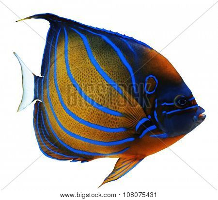 Exotic fish isolated on white