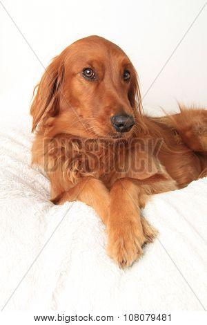 Irish Setter dog studio portrait.
