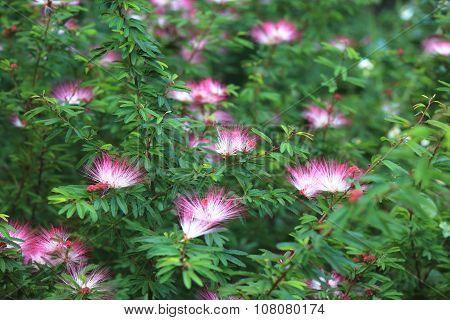 Red powder-puff flowers,Red-headed calliandra,Surinam calliandra