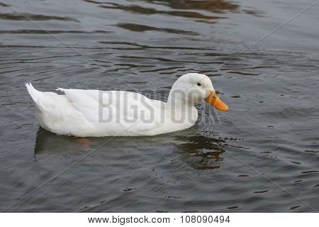 White Duck Swimming In Pond