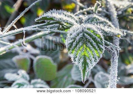 Blackberry Leaves Covered With Frost