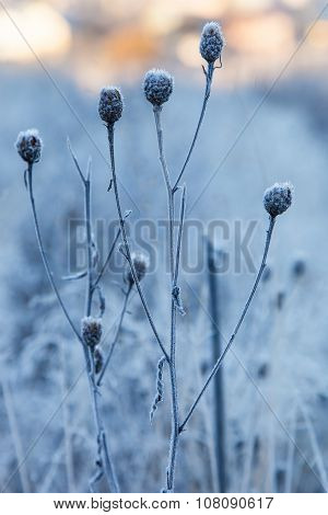 Dry Grass Covered With Hoarfrost