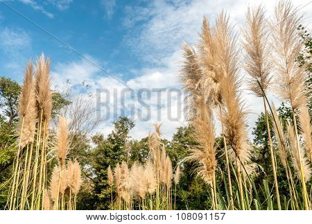 Group Of Pampas Grass In The Garden Wit  Blue Sky