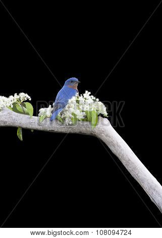 Male Eastern bluebird on Black Background