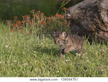 Little Bobcat Kitten