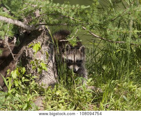 Young Raccoon Exploring