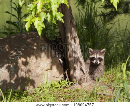 Young Raccoon Peeking Out of Woods