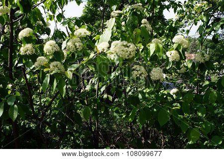Wayfaring Tree