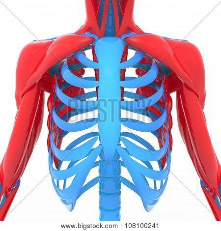 Human Scapula with Ribs