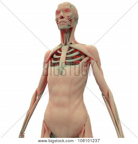 Human Muscle Body with Skeleton