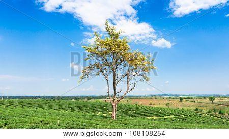 Big tree yellow leaf in tea Plantation.
