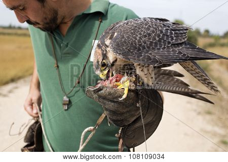 Peregrine Falcon And Falconer
