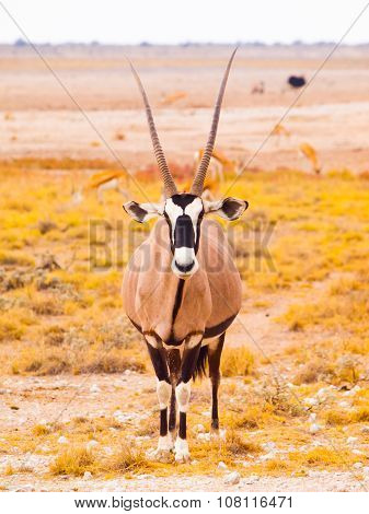 Gemsbok antelope in the yellow grass