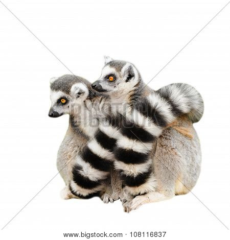 Portrait Of Two Lemurs Katta (Lemur Catta) On White Background
