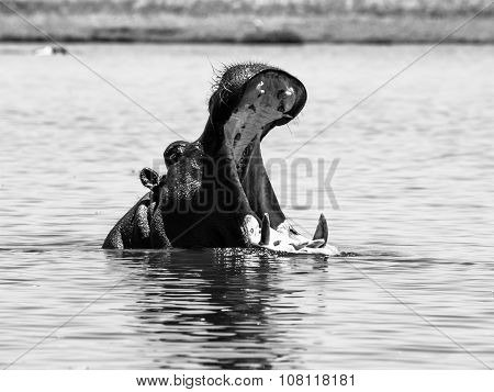 Big hippo with wide open mouth in the river