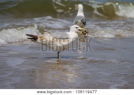 Two Seagulls In A Water Of North Sea In Zandvoort, The Netherlands