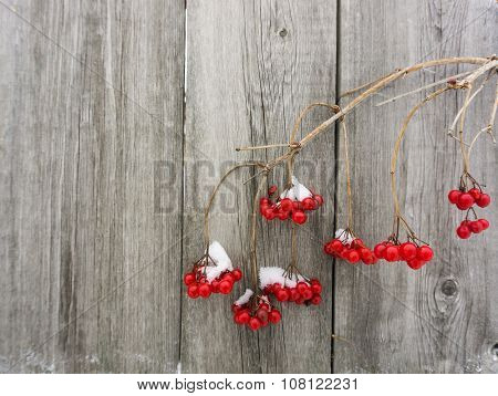 Twigs And Berries Of Viburnum In The Snow On A Wooden Background