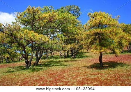 Dalat, Ecology Travel, Grass, Pine Jungle