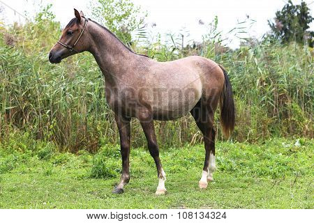Purebred Arabian Horse Posing On Natural Background