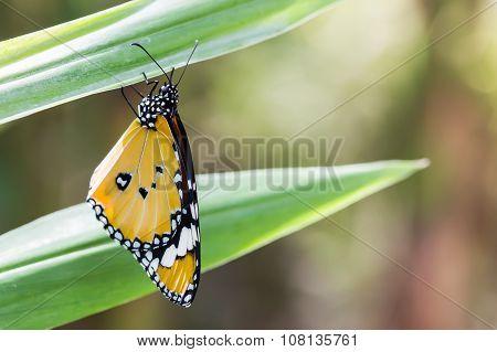 Beautiful yellow butterfly (Plain Tiger Danaus chrysippus).