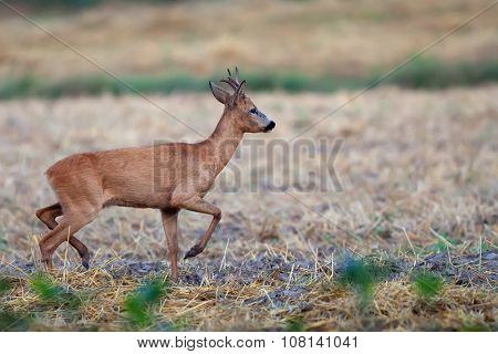 Buck deer on the run in the wild