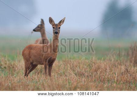 Roe-deer in the morning mist