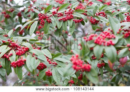 Red berry tree, Cotoneaster Cornubia