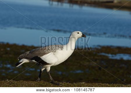 Male Upland Goose
