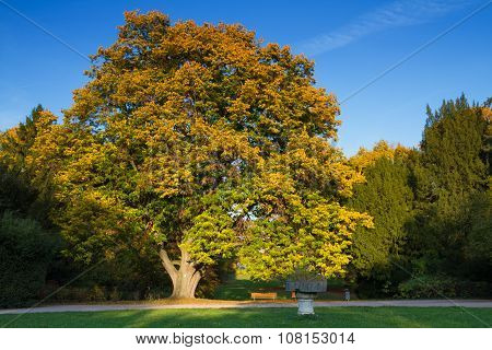 Old Lime Tree In Autumn
