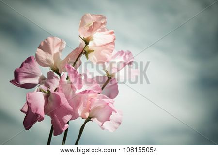 Light Pink Flowers Against The Gray Sky