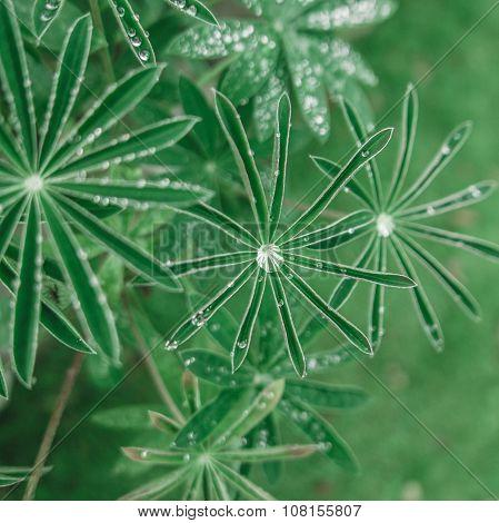 Dew Or Rain On Leaves