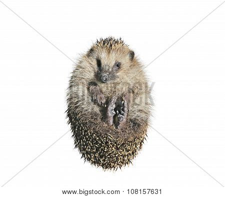 Forest Wild Hedgehog Isolated