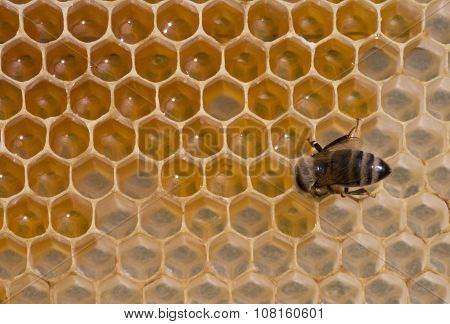 Bee Nectar Poured Into Cell