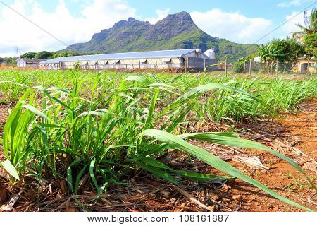 Field of sugar cane on Mauritius Island. Agriculture in tropical climate.