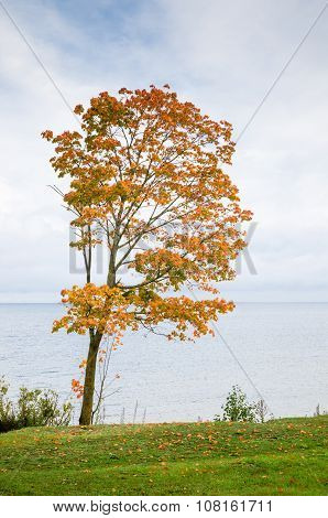Maple With Fallen Down Leaves On Seacoast