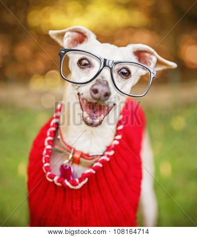 a close up of a italian greyhound's face with cool trendy hipster or nerd geek black frame glasses on his face