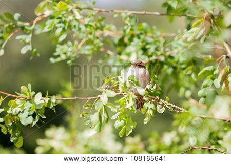 Natural Spring Backgound - Sparrow On Branch With Leaves.