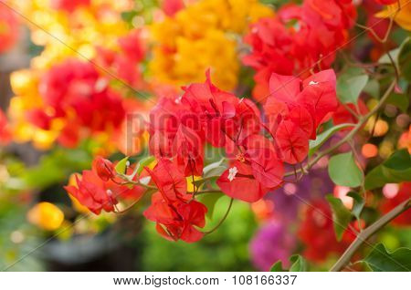 Colorful Bougainvilleas