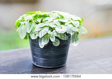 Fittonia Albivenis Or Fittonia Verschaffeltii