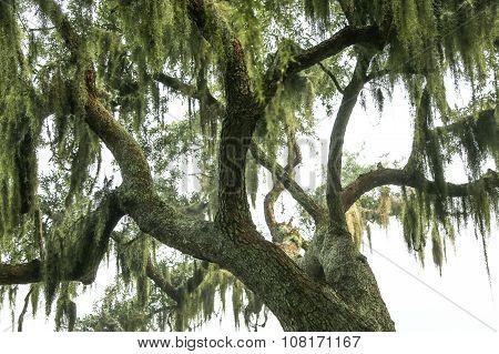 Spanish Moss on the Oak Tree